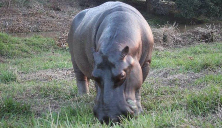 Ambientalistas piden a Profepa atender el caso del hipopótamo de Las Choapas